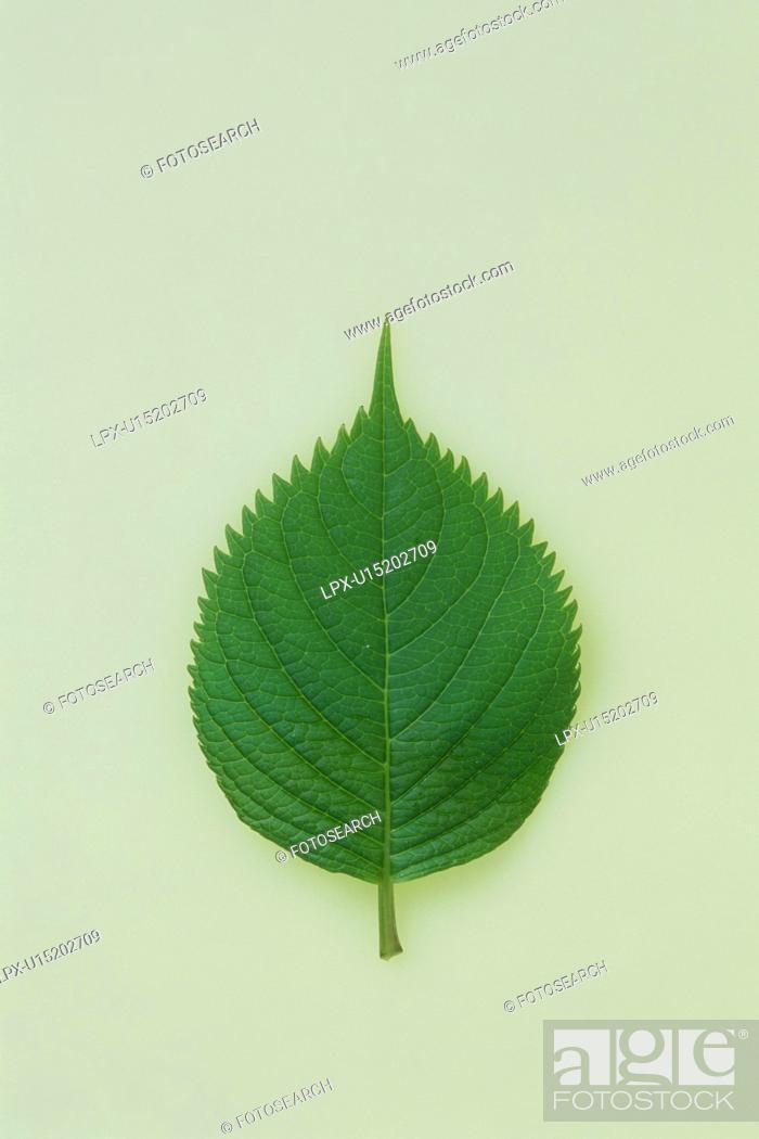 Stock Photo: Hydrangea leaf.