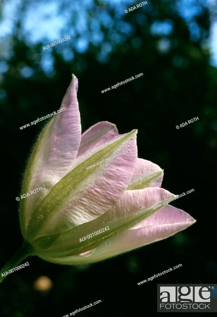 Stock Photo: Clematis dawn - pale pink - veined - graceful.