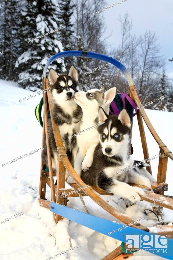 Stock Photo: Three Siberian Husky puppies sitting in dog sled in snow Alaska.