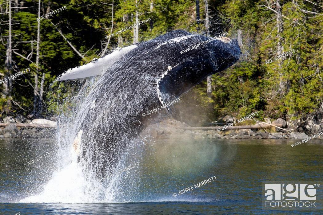 Stock Photo: Humpback whale, Megaptera novaeangliae, British Columbia coast, Canada, breaching.