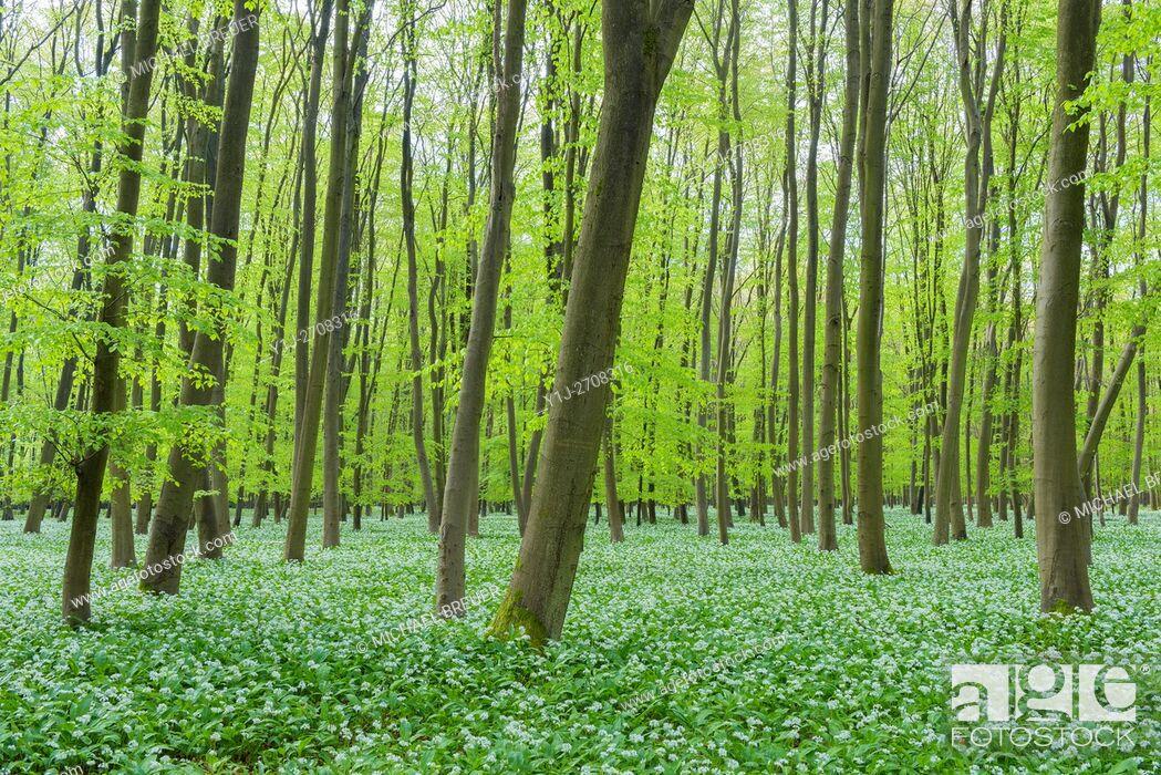 Stock Photo: European Beech Forest (Fagus sylvatica) with Ramson (Allium ursinum), Hesse, Germany, Europe.