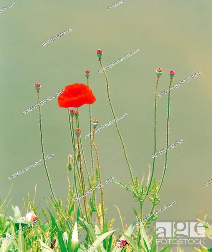 Stock Photo: flower, Poppy.