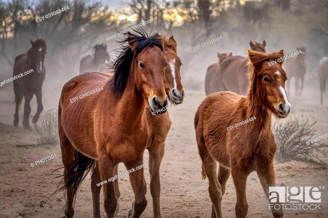Stock Photo: Salt River Wild Horses in Tonto National Forest near Phoenix, Arizona.