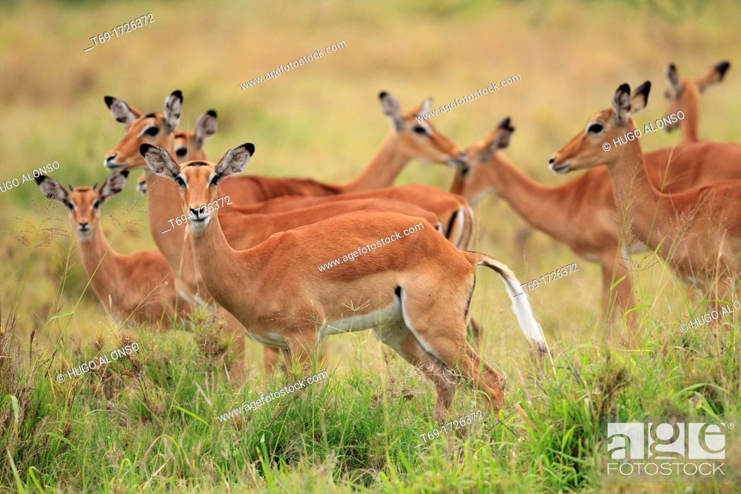 Imagen: Big group of females of Impala, Aepyceros melampus.