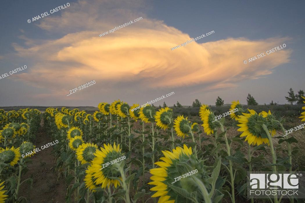 Stock Photo: Field of sunflowers sunset clouds El Pobo Teruel Aragon Spain.