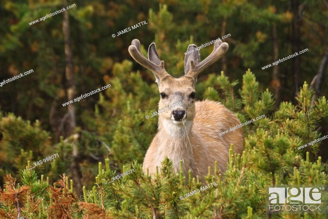 Stock Photo: A buck Mule Deer watches from the Lodgepole Pine forest with new, velvet-coated antlers.