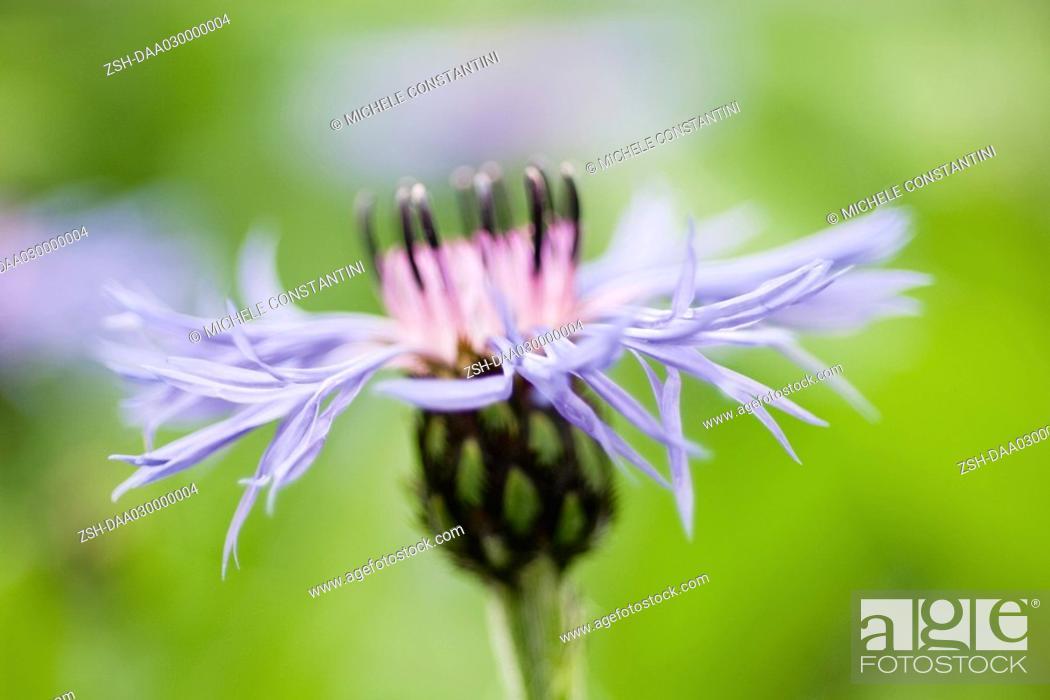 Stock Photo: Cornflower, side view.