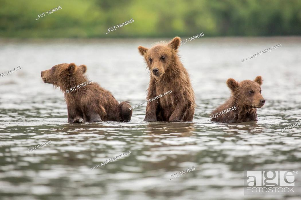 Stock Photo: Kamchatka brown bear cubs in lake, Kurile Lake, Kamchatka Peninsula, Russia.