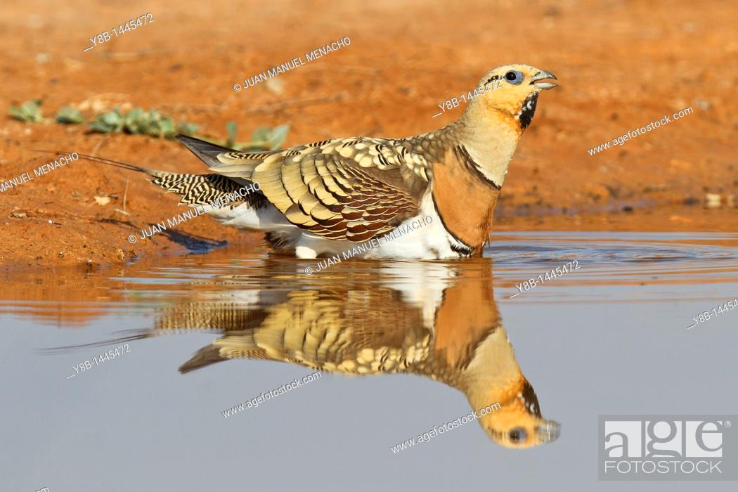 Stock Photo: Pin-tailed Sandgrouse (Pterocles alchata) male, Aragon, Spain.