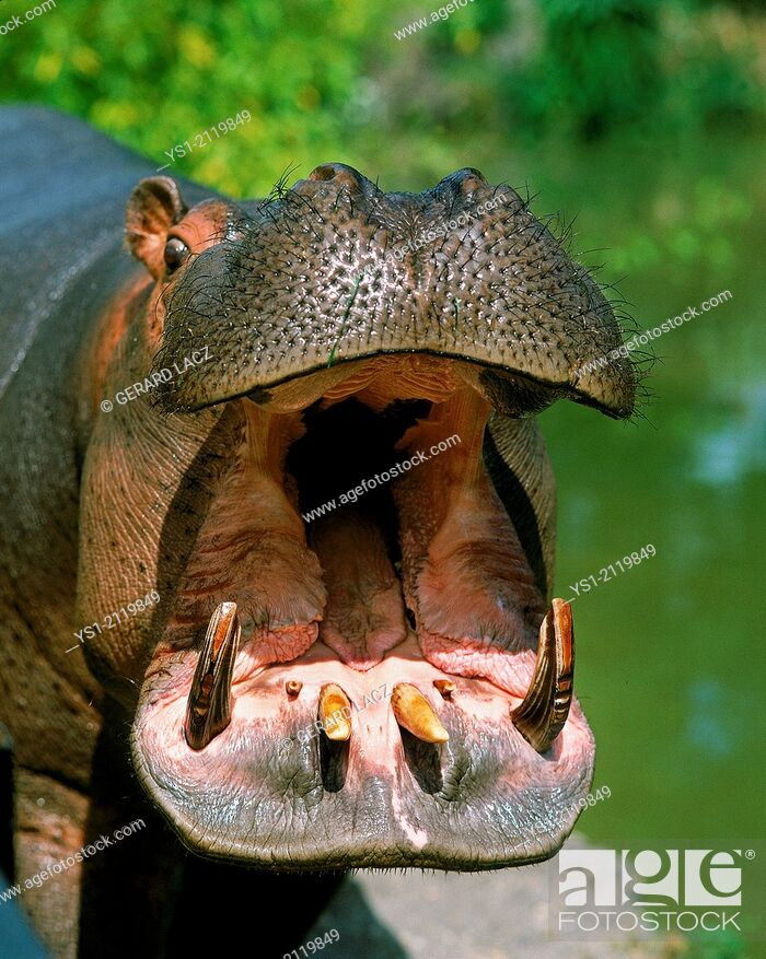 Stock Photo: Hippopotamus, hippopotamus amphibius, Adult Yawning, with Open Mouth.