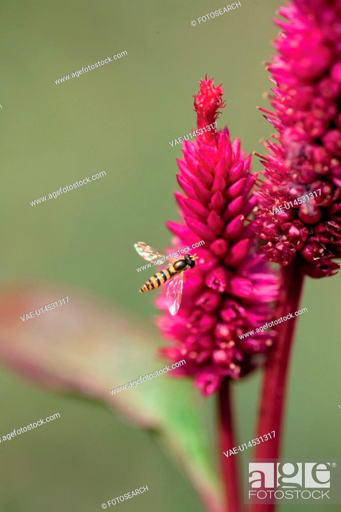 Stock Photo: animal, plant, bee, insect, flower, arthropod, nature.