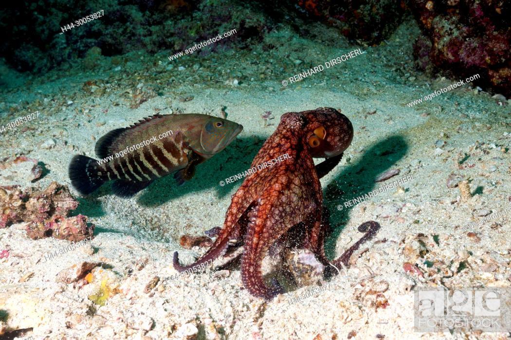 Imagen: Octopus, Octopus sp., La Paz, Baja California Sur, Mexico.