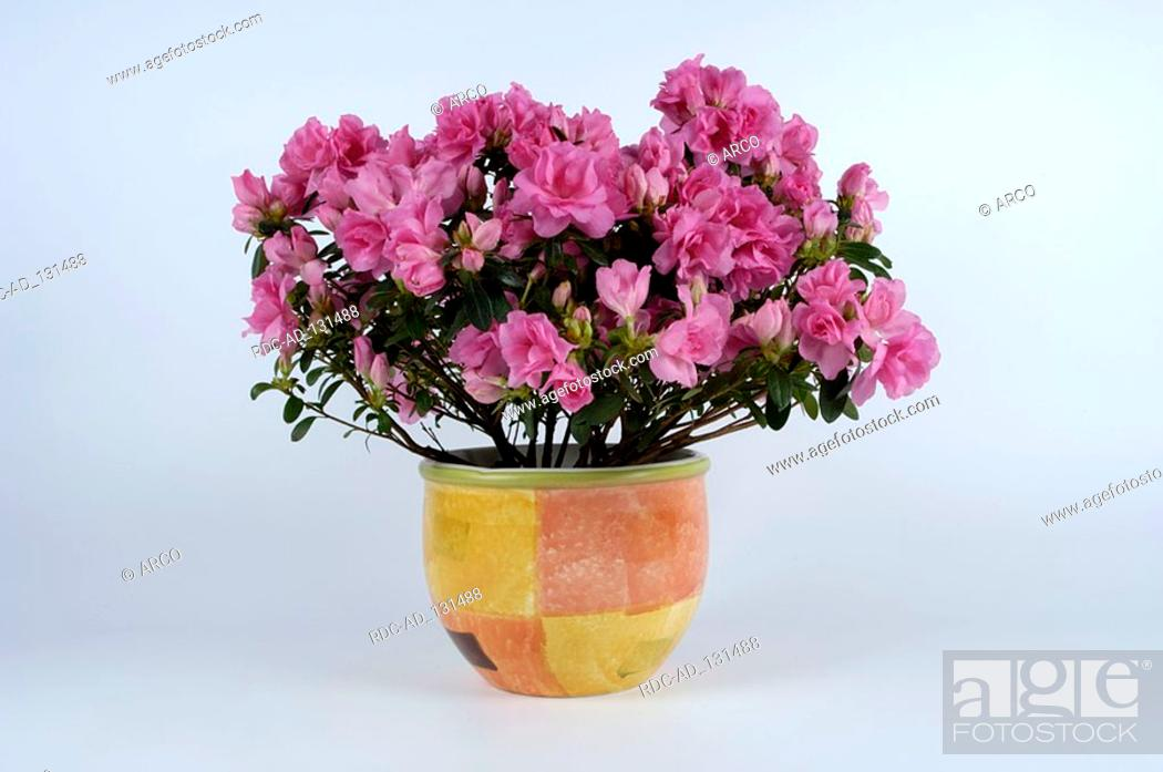 Stock Photo: Azalea Rhododendron spec Zimmerazalee Rhododendron spec.