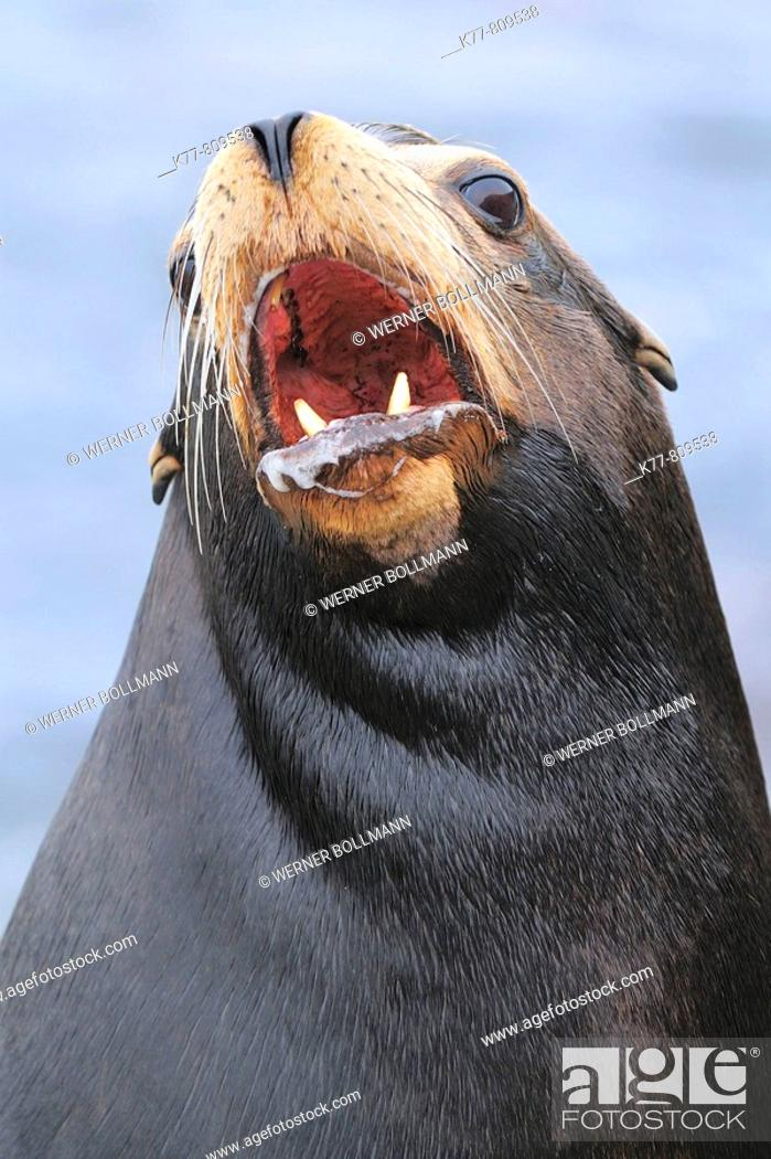Stock Photo: Californian Sealion (Zalophus californianus), Male. Monterey, California, USA.