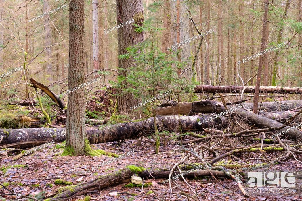 Imagen: Broken poplar tree in springtime against oak trees, Bialowieza Forest, Poland, Europe.