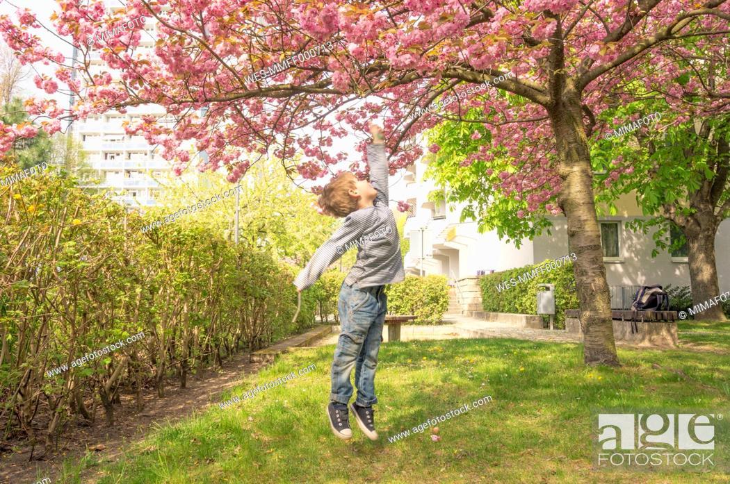 Stock Photo: Germany, Berlin, Cherry blossom, Little boy jumping under tree.