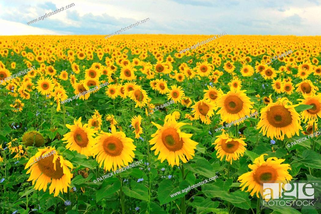Stock Photo: Sunflower (Helianthus annuus). Sonnenblume, Lausanne, Switzerland.
