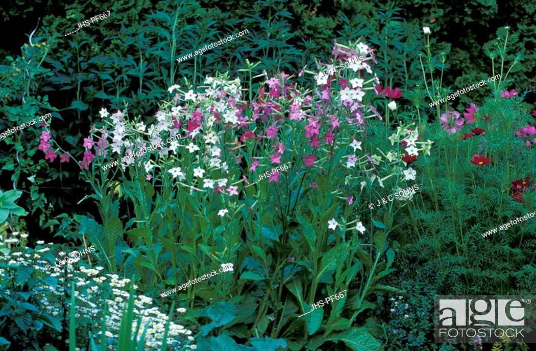 Stock Photo: Flowering Tobacco, Nicotiana x sanderae, Germany, bloom.