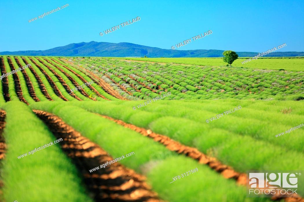 Stock Photo: Plateau de Valensole, champs de lavandes au printemps, Alpes de Haute Provence, 04, PACA.