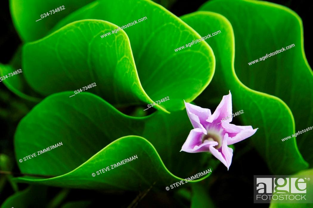 Stock Photo: Flower, Kauai, Hawaii, USA.