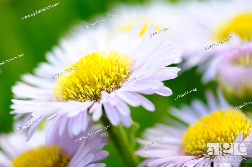 Imagen: Fleabane, Pale Purple Beach Aster, Erigeron glaucus 'Western hills'. Mauve flowers with yellow stamen growing outdoor.