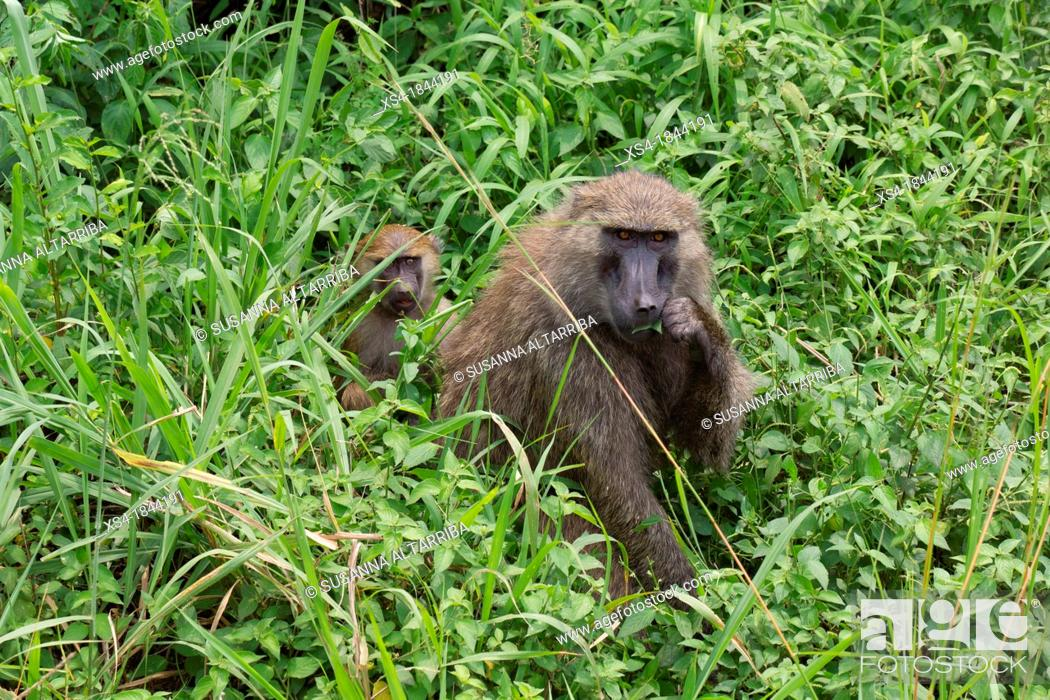 Stock Photo: Olive baboon, Papio Anubis, Olive baboons are widespread throughout equatorial Africa and are found in 25 countries. From the west coast of Africa moving.