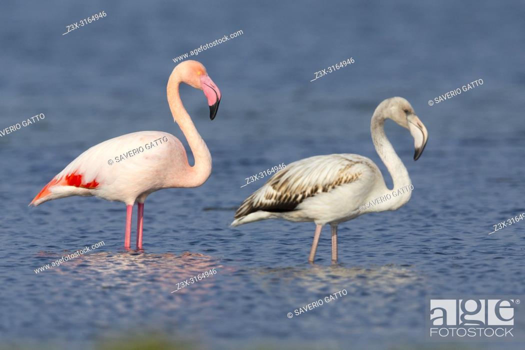 Stock Photo: Greater Flamingo (Phoenicopterus roseus), Juvenile and adult standing in the water, Salalah, Dhofar, Oman.