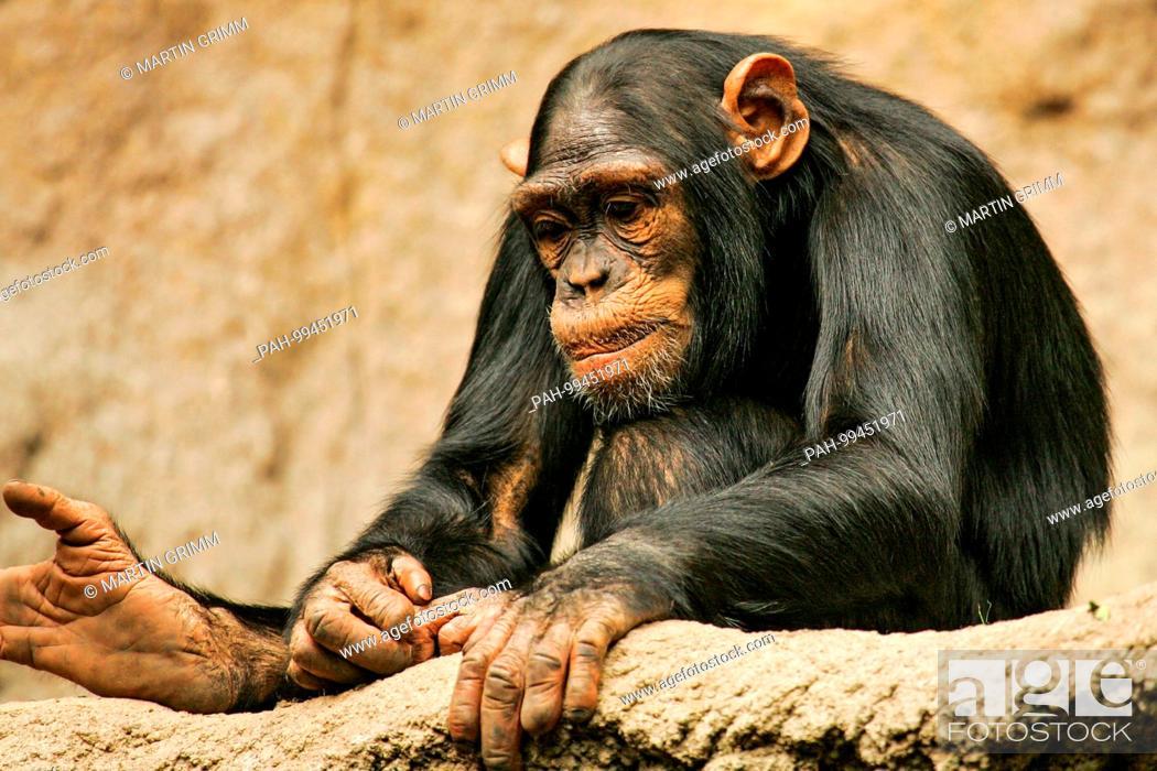 Stock Photo: West African chimpanzee (Pan troglodytes verus) sitting thoughtfully in Pongoland Zoo Leipzig, Leipzig, Germany | usage worldwide.