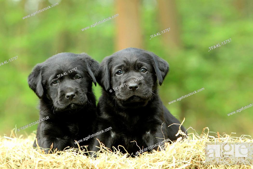 Imagen: Labrador Retriever Puppies.