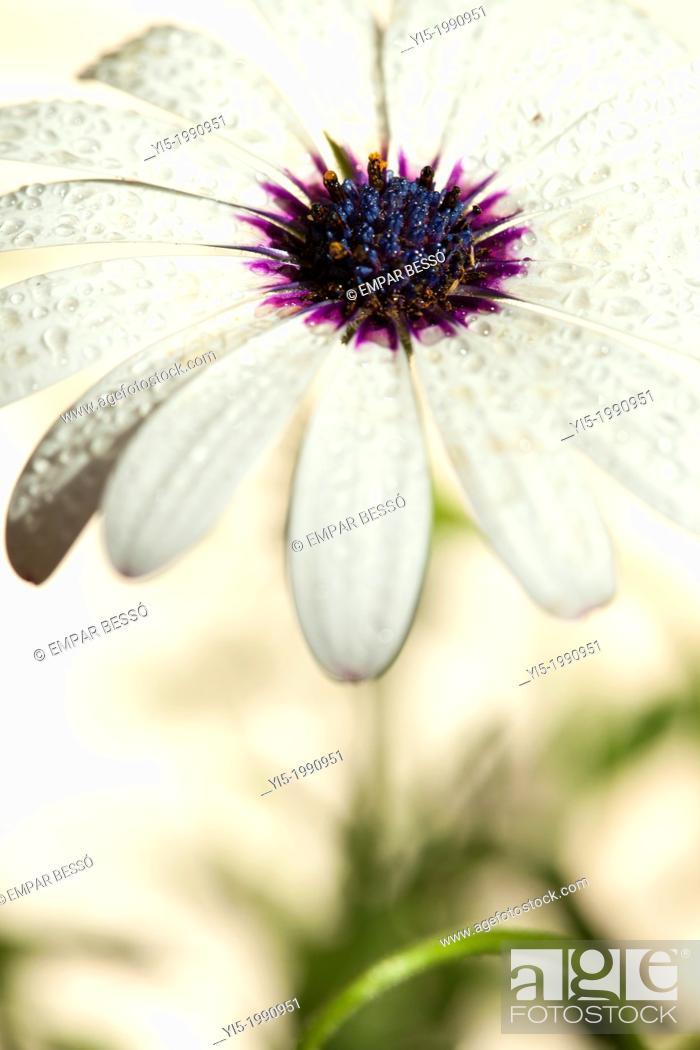 Imagen: Osteospermum ecklonis or Dimorphoteca ecklonis. Cape Daisy, African Daisy.