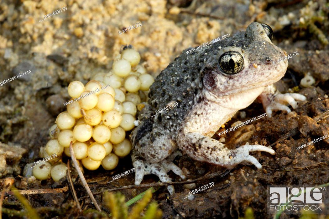 Stock Photo: Midwife Toad (Alytes obstetricans), male with eggs. Vaucluse . France.