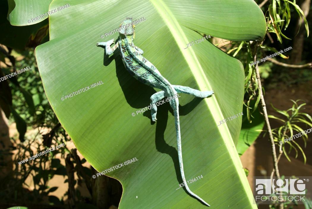 Photo de stock: Madagascar, Parson's chameleon Calumma parsonii.