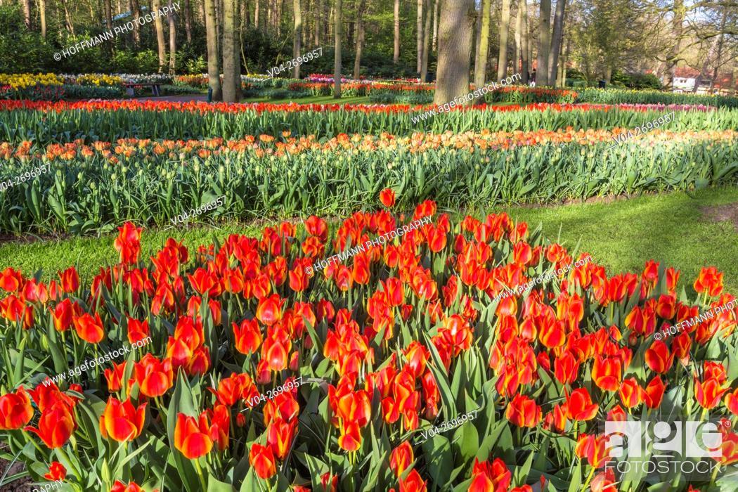 Stock Photo: Beautiful blooming flowers in the famous Keukenhof (Keukenhof Gardens), The Netherlands, Europe.