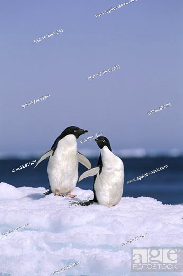 Stock Photo: Two Adelie Penguins, Antarctica.