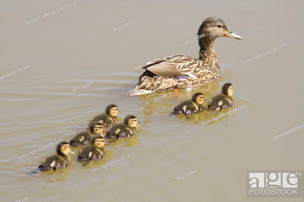 Stock Photo: Mallards (Anas platyrhynchos). Llobregat river delta, Barcelona province, Catalonia, Spain.