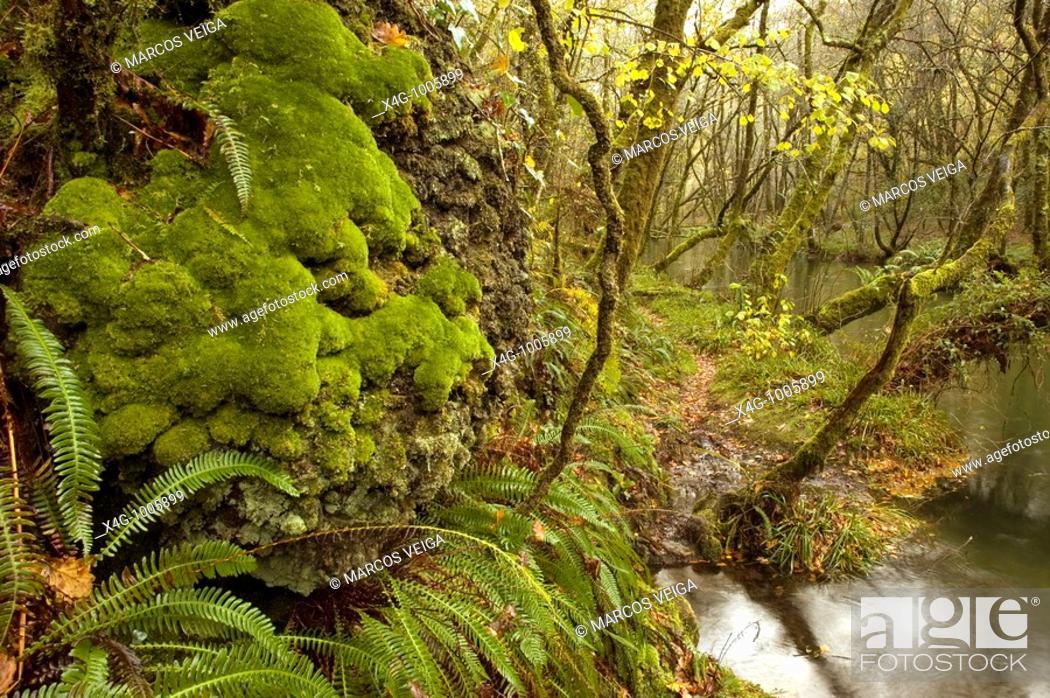 Stock Photo: Bosque caducifolio en Galicia, Deciduous forest, Fragas do Barragán, Pontevedra, Galicia, España.