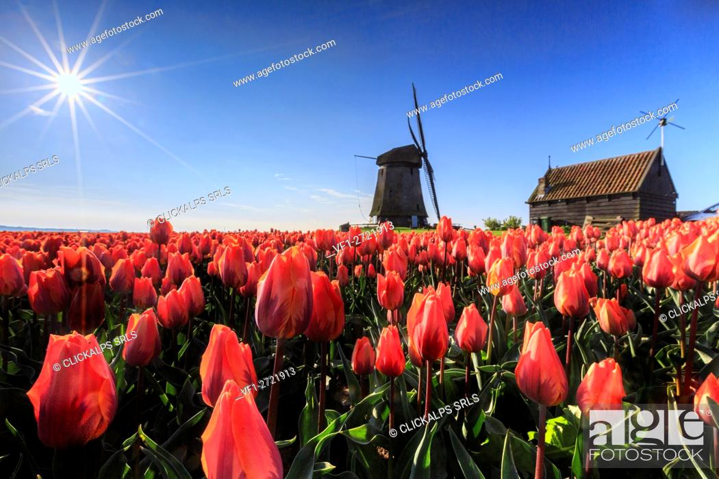 Stock Photo: Red tulips in foreground and blue sky frame the windmill in spring Schermerhorn Alkmaar North Holland Netherlands Europe.