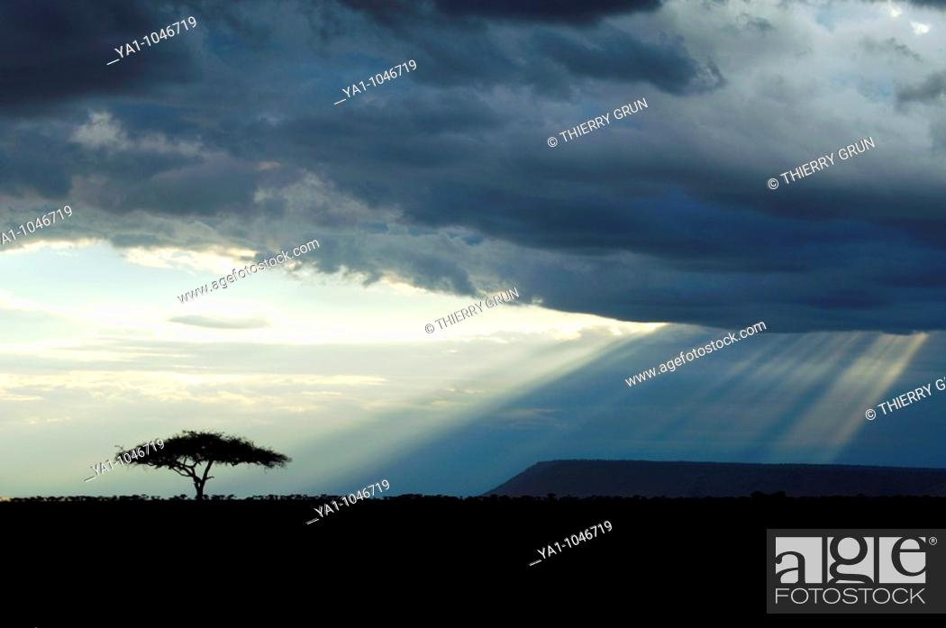 Stock Photo: Thunderstorm clouds and sunbeams on Masai Mara National Park savannah. The tree is an acacia. Kenya.