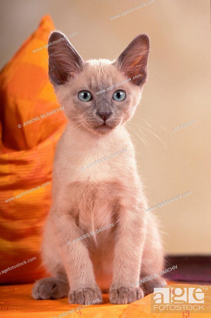 Imagen: Tonkinese cat. Kitten sitting in front of a sofa cushion. Germany.