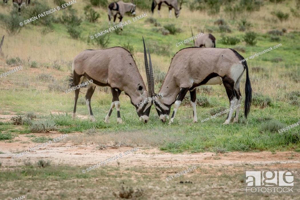 Stock Photo: Two Orxy fighting in the grass in the Kalagadi Transfrontier Park, South Africa.