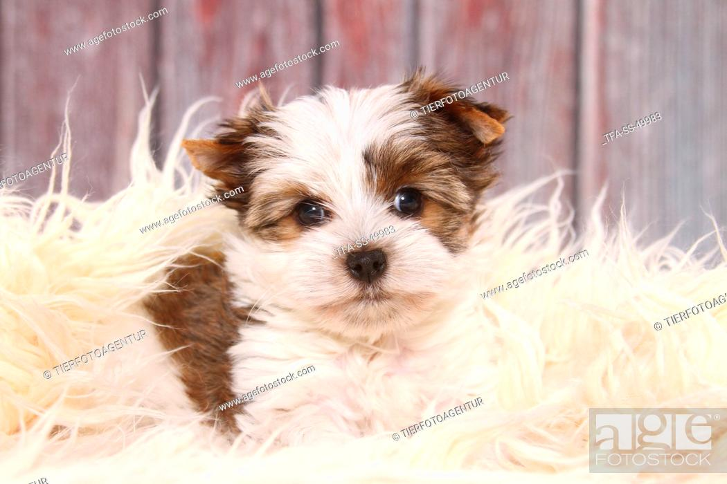 Stock Photo: Yorkshire Terrier Puppy.