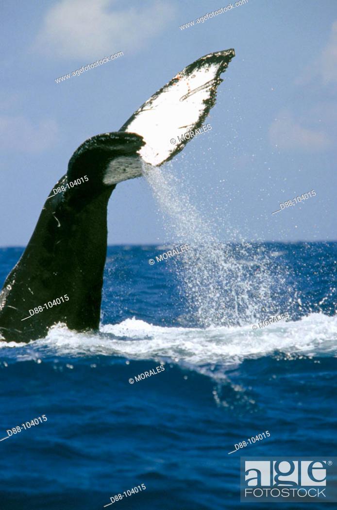 Stock Photo: Humpback Whale (Megaptera novaeangliae).