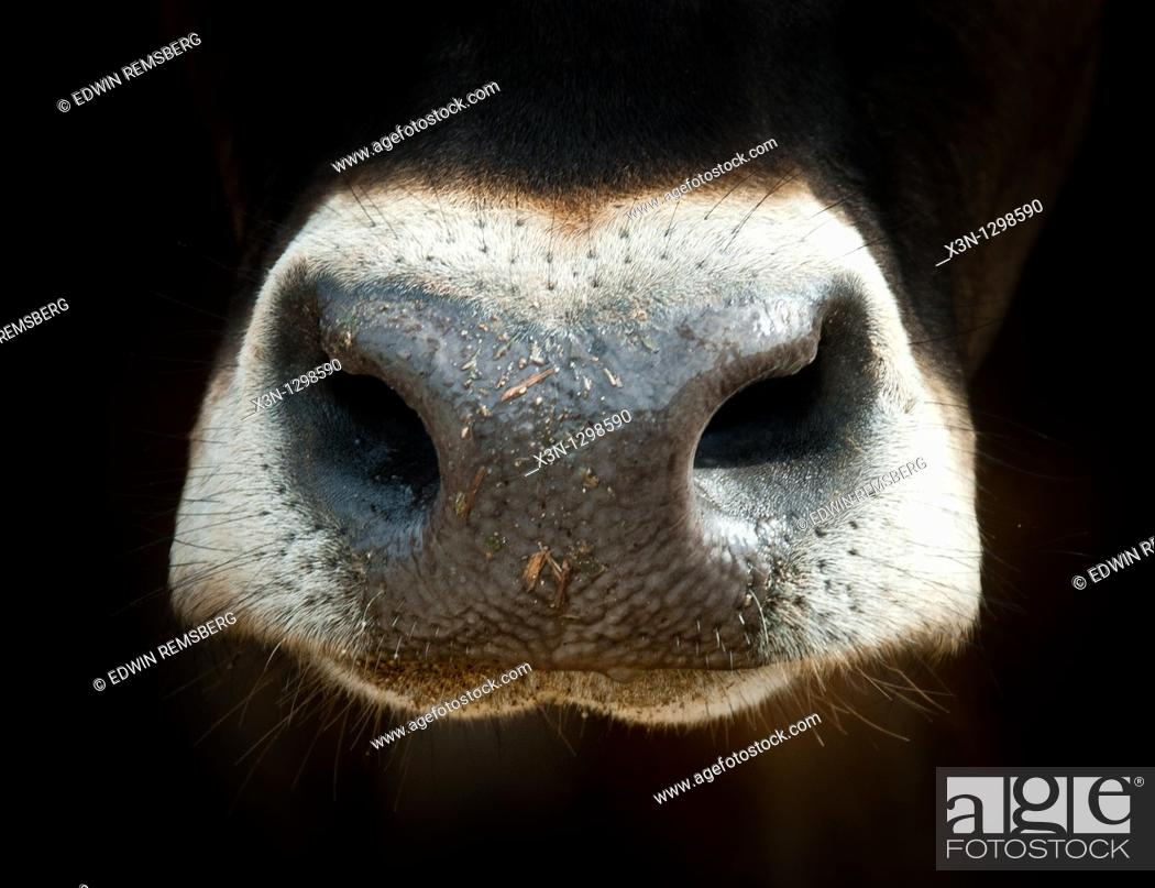 Stock Photo: Cow nose.