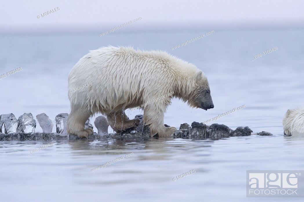 Stock Photo: United States, Alaska, Arctic National Wildlife Refuge, Kaktovik, Polar Bear( Ursus maritimus ), baby along a barrier island outside Kaktovik, Alaska.