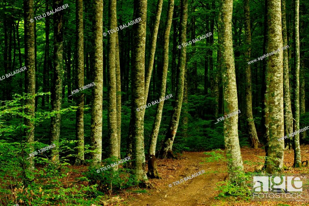 Stock Photo: Fagus sylvatica, beech, Oiarburu Forest, Auritz, Grand tour Pyrenees Navarra Spain 11.