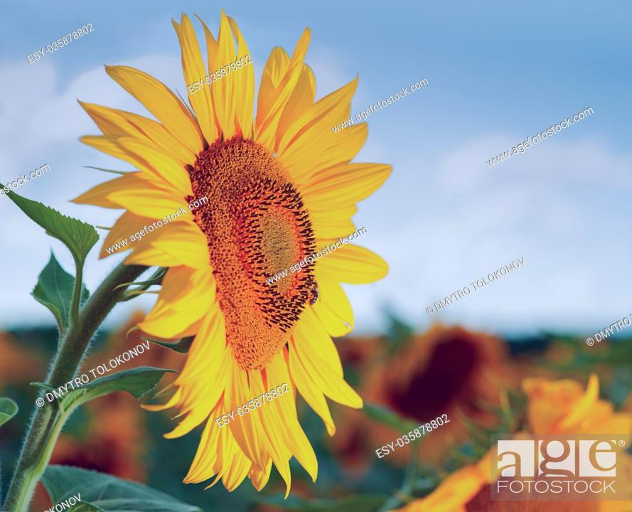 Stock Photo: Sunflower on the field beauty rural backgrounds for your design.