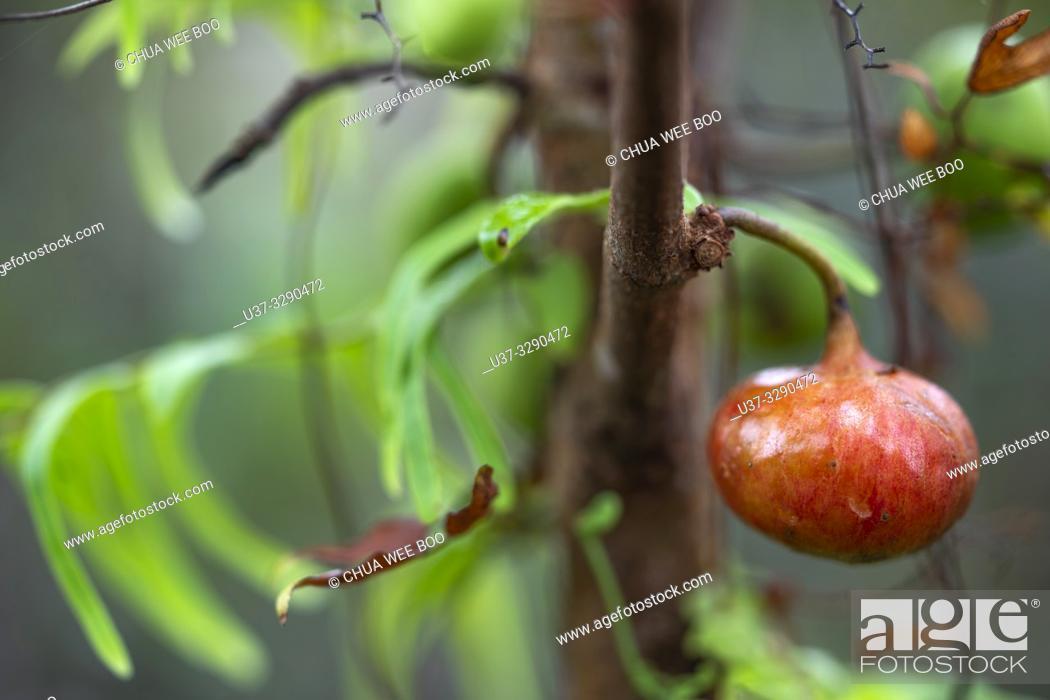 Stock Photo: Wild fruits around Kampung Apar, Sarawak, Malaysia.
