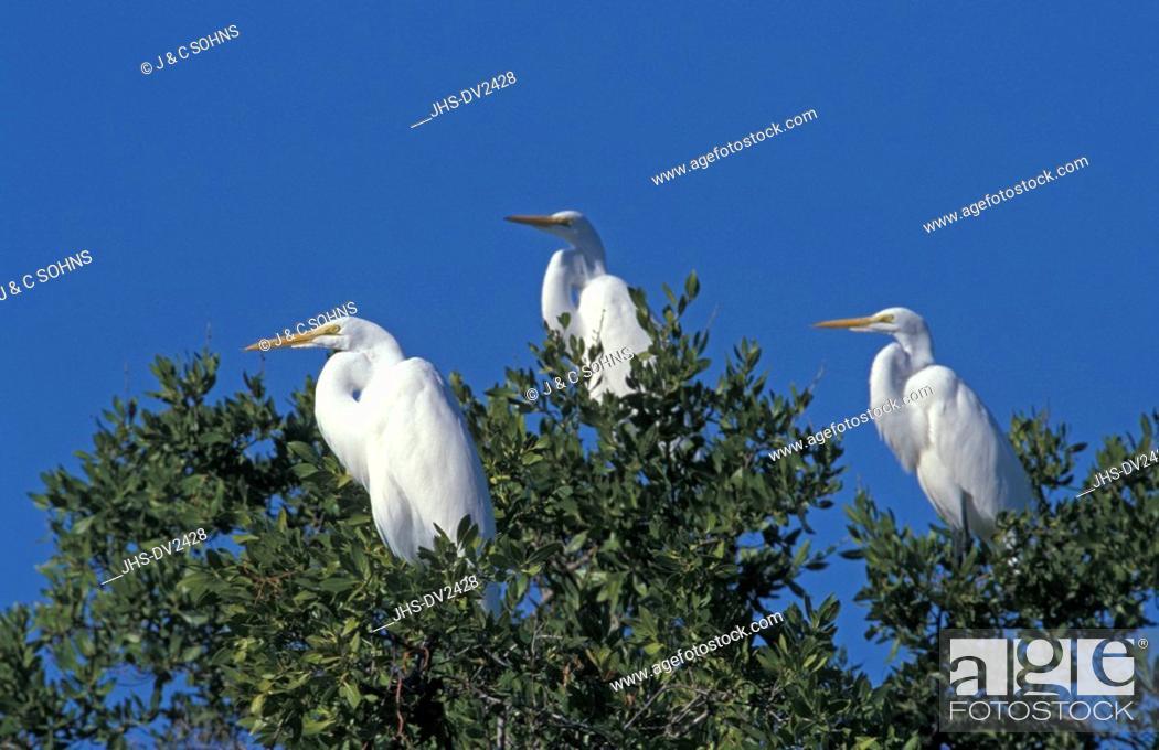 Great White Egret,Egretta alba,Sanibel Island,Florida,USA