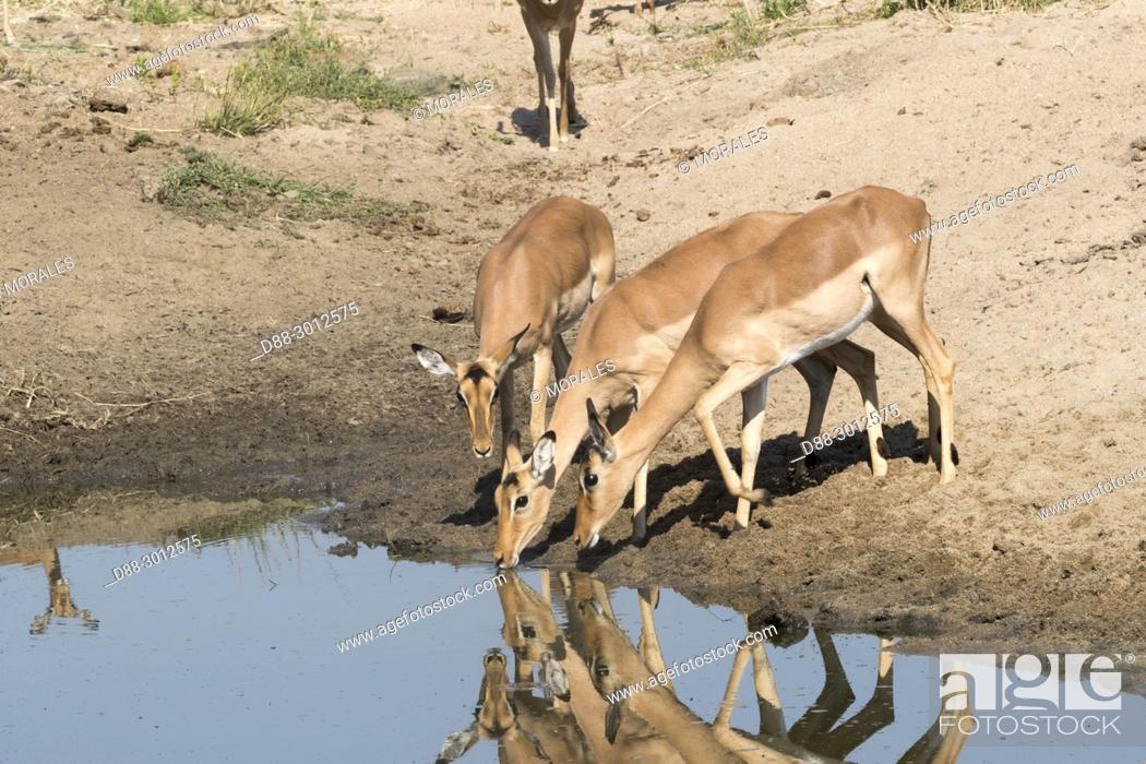 Stock Photo: Africa, Southern Africa, South African Republic, Mala Mala game reserve, Impala (Aepyceros melampus), drinking in a pool.