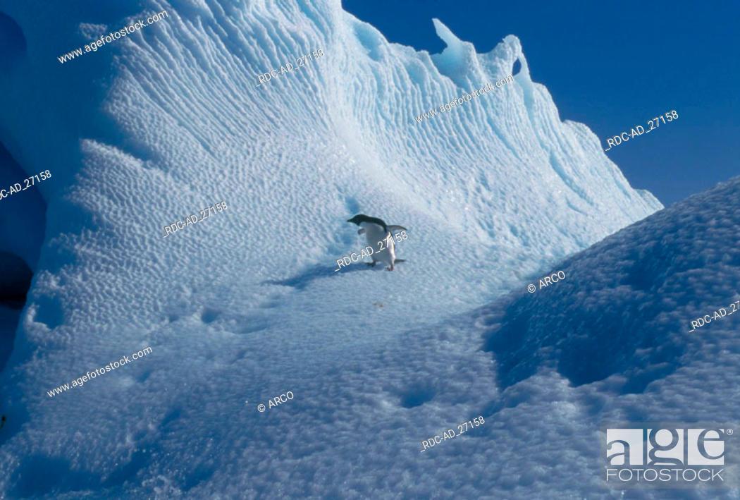 Stock Photo: Adelie Penguin Antarctica Pygoscelis adeliae.
